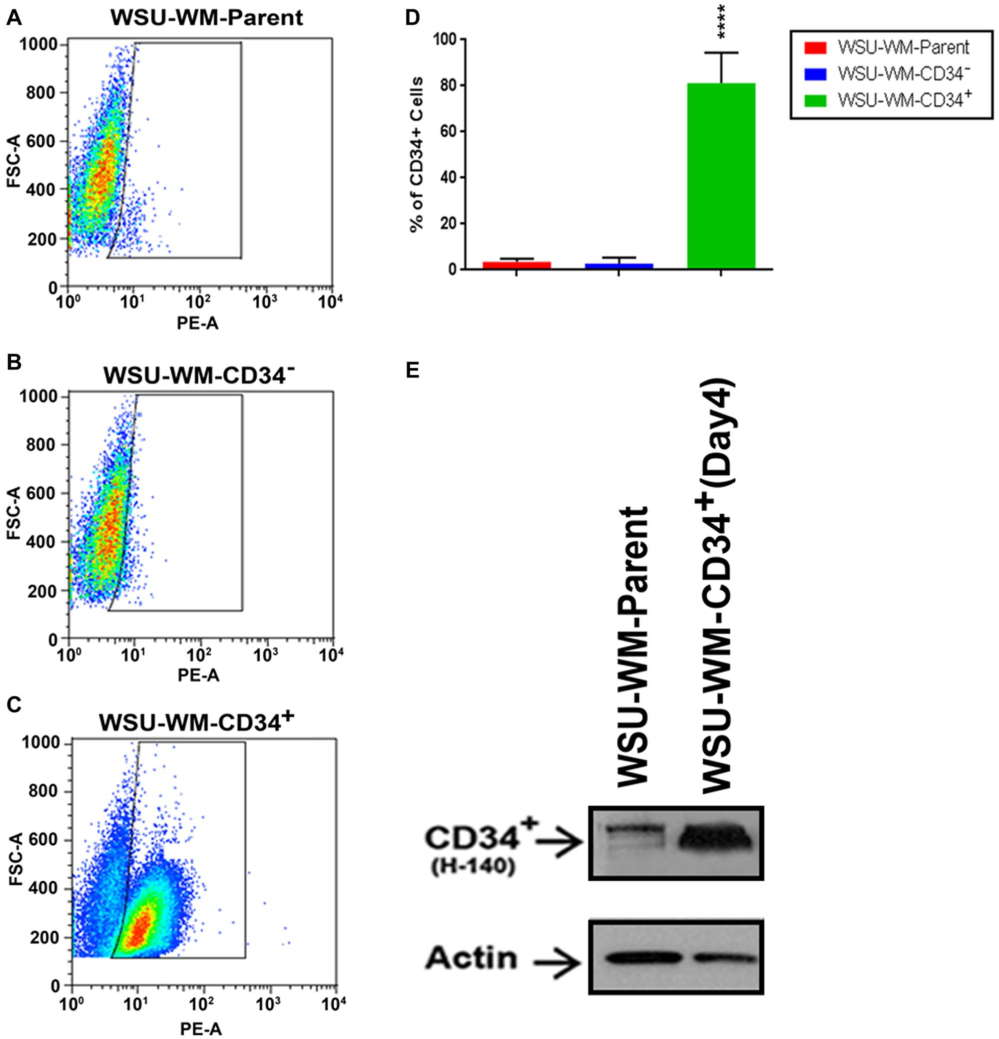 FACS analysis of WSU-WM using CD34 magnetic beads isolation.