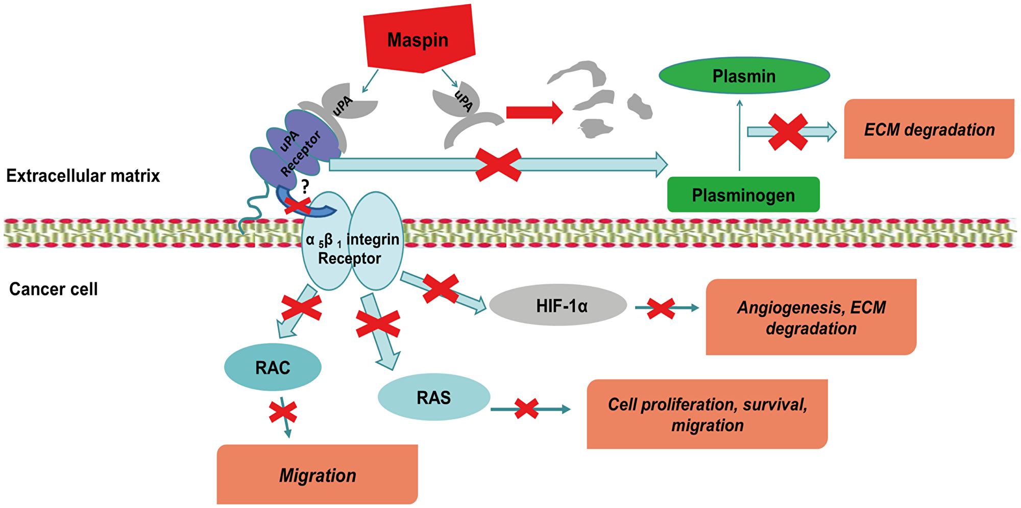 MASPIN can prevent the formation of UPA - UPA-receptor complex by a single step, and thus decrease the possibility of the abnormal degradation of the ECM, the development metastasis and angiogenesis.