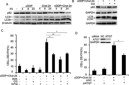 Autophagy is required for cell death induced by Chal-24 and cisplatin combination.