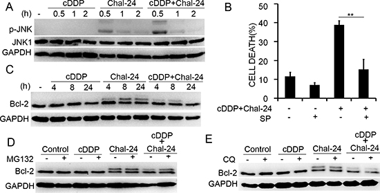 Combination of cisplatin and Chal-24 activates JNK-and phosphorylation of Bcl-2.