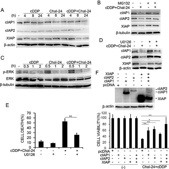 Combination of cisplatin and Chal-24 induces ERK-mediated degradation of the IAP proteins.