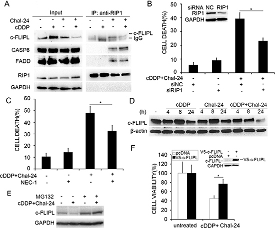 Combination of cisplatin and Chal-24 triggers Ripoptosome formation and c-FLIPL degradation.