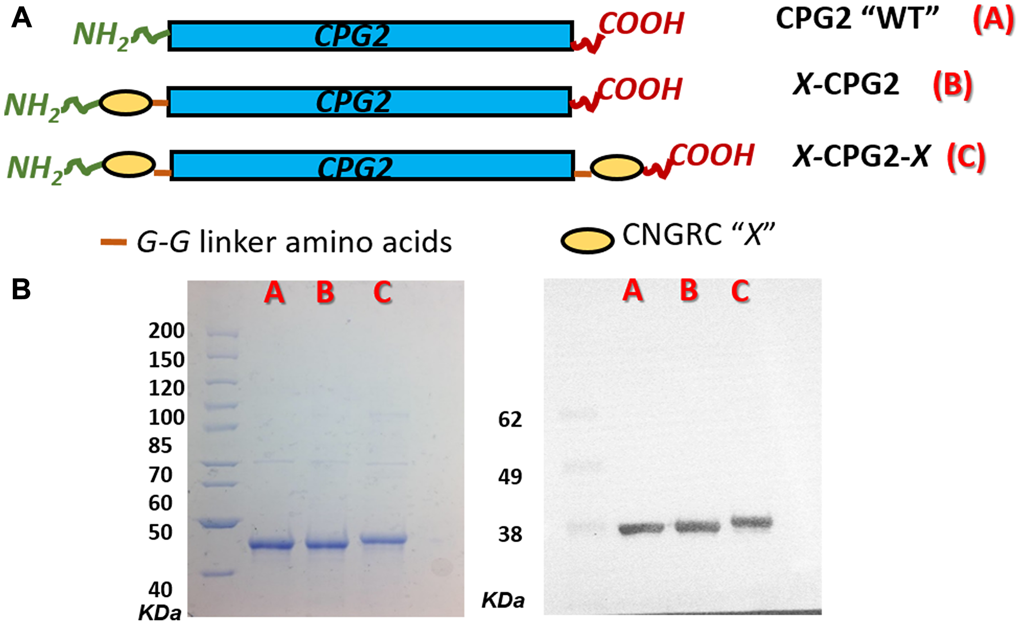 Cloning and production of CNGRC-CPG2 fusion proteins.