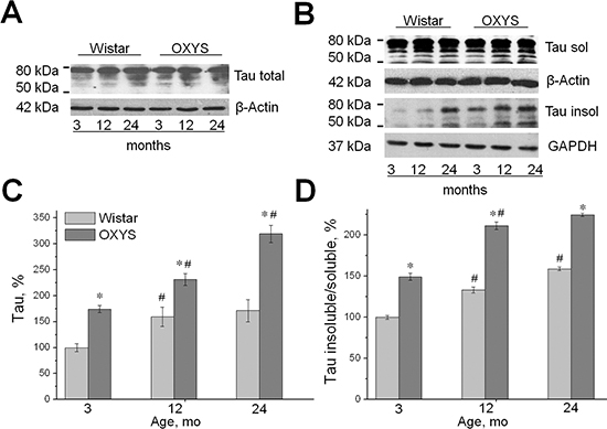 Increased expression of tau and the increased proportion of insoluble tau in OXYS rats. Expression of tau was analyzed by western blotting in the hippocampus of 3-, 12-, and 24-month-old OXYS and Wistar rats. The data are presented as a percentage of the data from 3-month-old Wistar rats in a group.