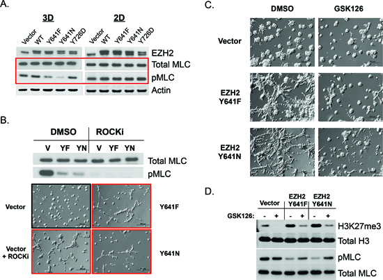 EZH2 GOF catalytic activity inhibits cell contractility and is necessary for the maintenance of 3D-branching morphology.