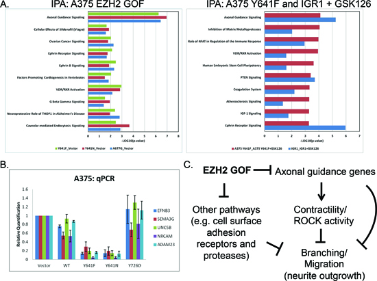 EZH2 GOF mutants regulate axonal-guidance genes.