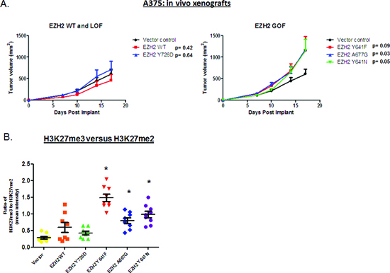A375 cells expressing EZH2 GOF mutants (but not WT or LOF mutant) display increased tumor volume in mouse xenograft models.