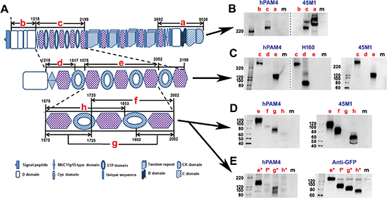 Mapping the PAM4-reactive epitope on human MUC5AC.