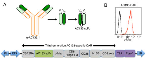 Scheme of the AC133-specific CAR and flow cytometric characterization of AC133-CAR expression.