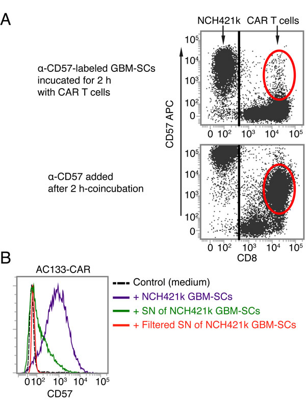 AC133-CAR T cells do not seem to directly acquire the CD57 epitope from GBM-SCs.