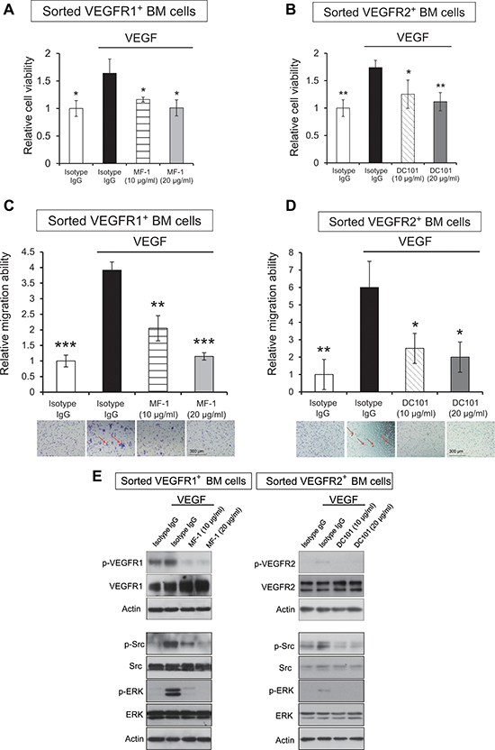 MF-1 and DC101 suppressed the proliferation and migration of sorted VEGFR1+ and VEGFR2+ bone marrow cells.