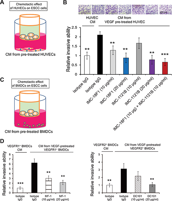 The pro-invasive effect of HUVECs or bone marrow cells on cancer cells.