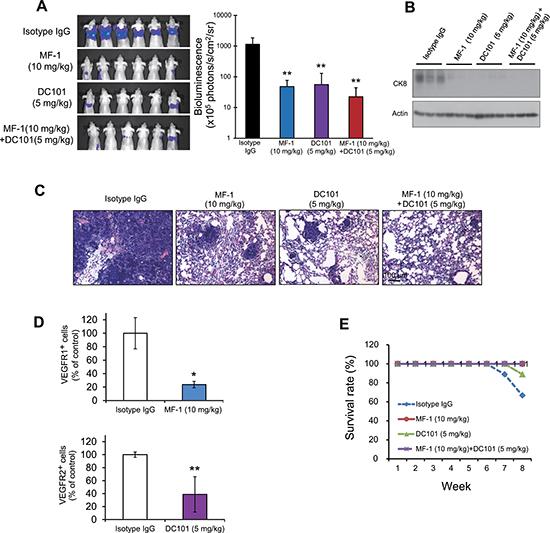 MF-1 and DC101 suppressed metastasis of ESCC cells.