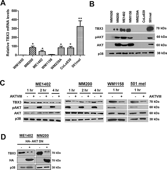 The AKT signalling pathway upregulates TBX3 protein levels in a subset of advanced melanoma cell lines.