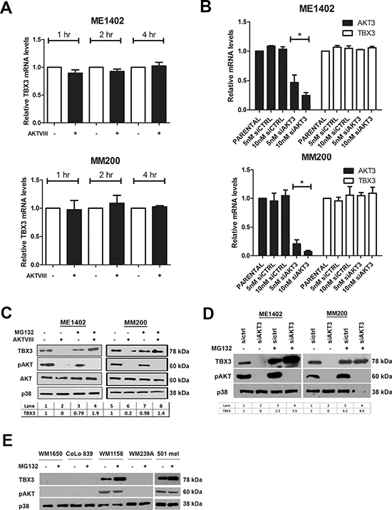 AKT3 upregulates TBX3 protein levels at a post-transcriptional level in melanoma cells.