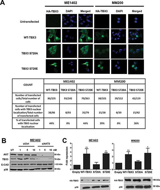 Phosphorylation by AKT3 promotes TBX3 nuclear localization and transcriptional repression of E-cadherin.