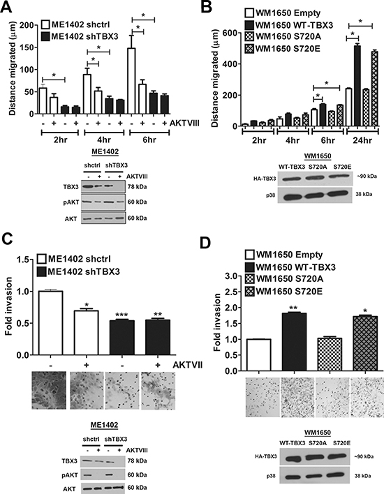 Phosphorylation of TBX3 by AKT3 promotes migration and invasion.
