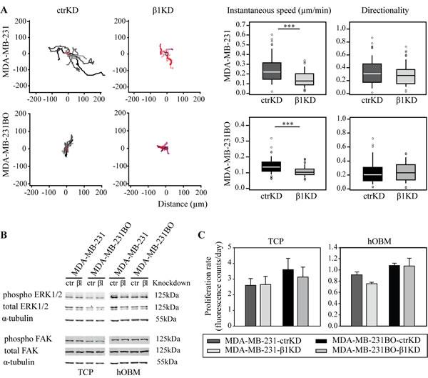 β1 integrins promote BC cell migration on hOBM but have no effect on ERK/FAK cell signaling and proliferation