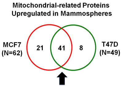 Venn diagram highlighting the conserved upregulation of mitochondrial related proteins in both MCF7 and T47D mammospheres.