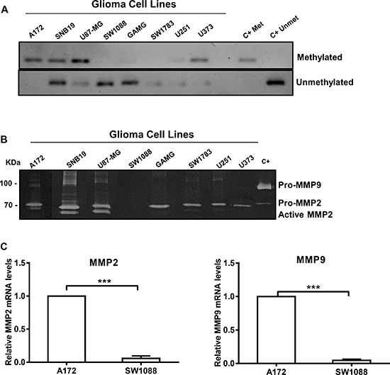 WNK2 protein expression associates with reduced MMP2 expression and activity.