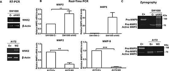 WNK2 downregulation leads to an increase in MMP2 RNA levels and activity.