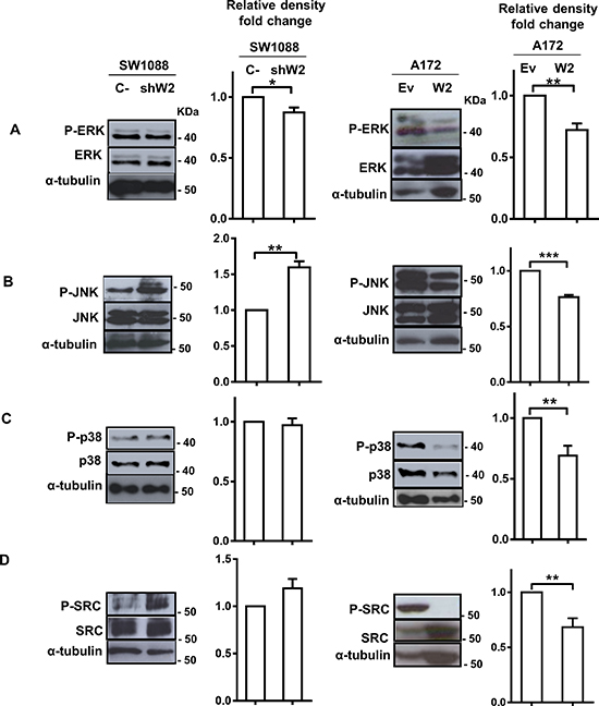WNK2 downregulation is associated with increased SRC and JNK activation levels.