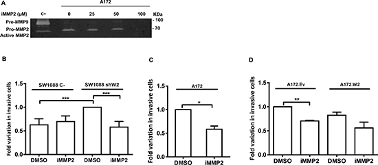MMP2 is involved in glioma cell invasion due to WNK2 downregulation.