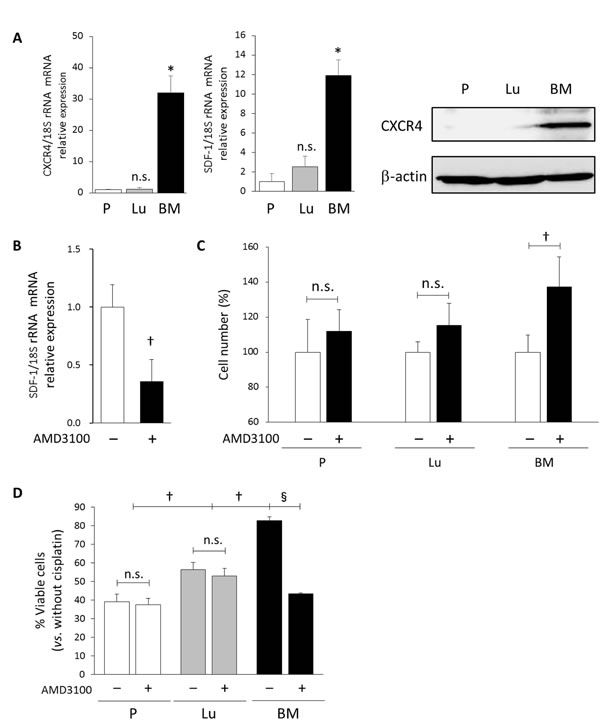 Autocrine SDF-1-CXCR4 signaling maintains a slow-cycling state and drug resistance in BM-derived DTCs.