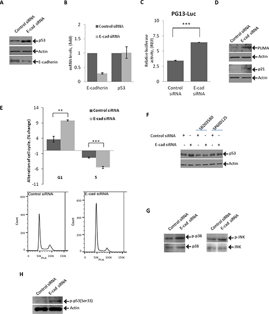 Inhibition of E-cadherin activates p53 and induces cell cycle arrest.