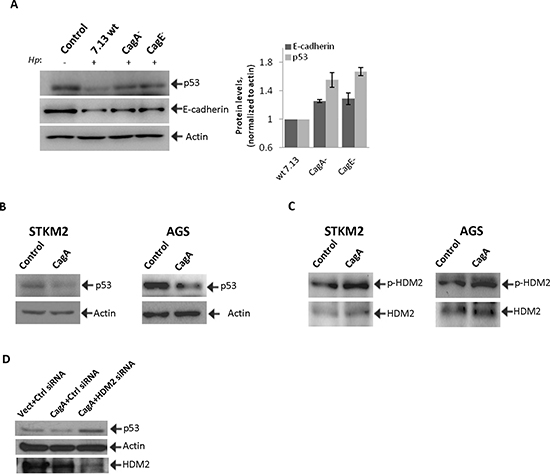 CagA is involved in the regulation of HDM2 and p53 proteins in H. pylori-infected cells.