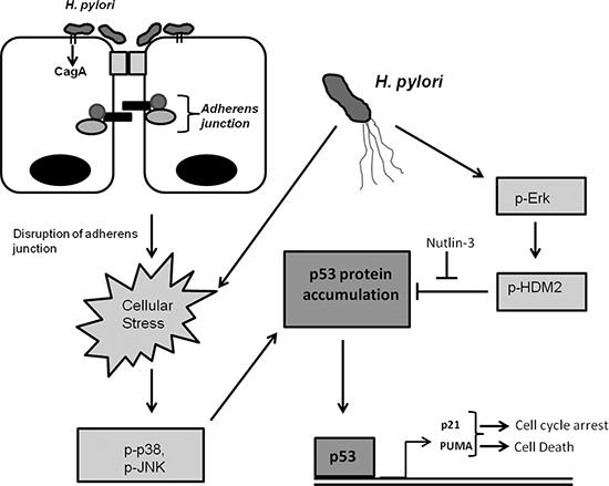 H. pylori alters p53 and E-cadherin signaling.
