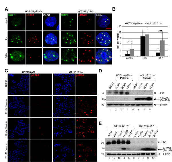 Cells without p21 show more DNA damage after Plk1 inhibition.