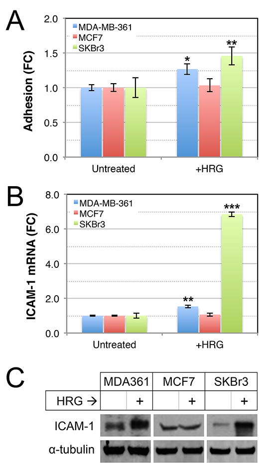 Effects of HRG on adhesive abilities of luminal HER2+ breast cancer cell lines.