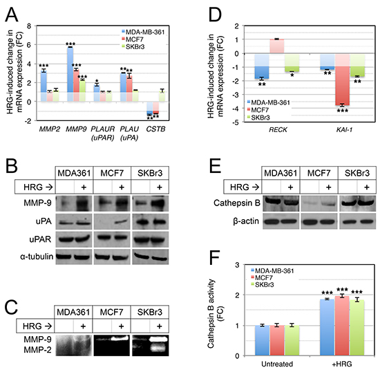 Treatment of luminal breast cancer cell lines with exogenous HRG increases extracellular protease activity.