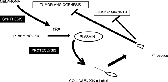 Tentative scheme for integrating the interplay between collagen XIX and melanoma cells.