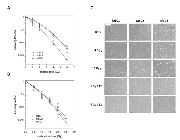 Mesenchymal stem cells exhibit different radiation sensitivities to photon and carbon ion irradiation.