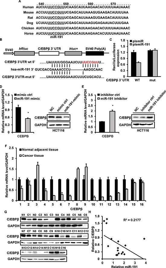 miR-191 down-regulates the expression of C/EBPβ.