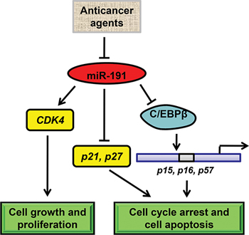 Schematic model of miR-191-mediated promotion of tumorigencity of colorectal cancer cells.