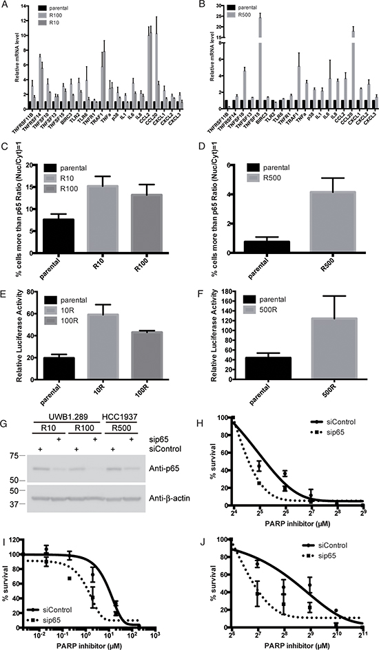 NF-κB is up-regulated in PARP inhibitor-resistant cells.