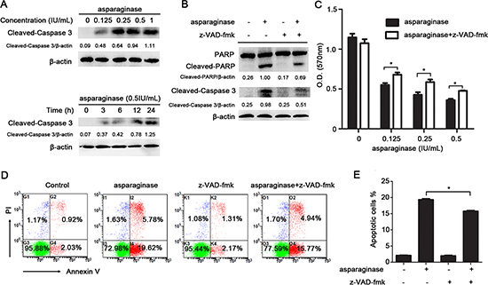 Apoptosis induced by asparaginase is partially caspase 3-dependent in K562 CML cells.