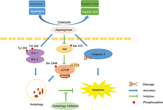 Scheme 1: Overview of apoptosis and autophagy pathways induced by asparaginase in K562 CML cells.