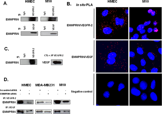 EMMPRIN/CD147 interacts with VEGFR-2 and VEGF in endothelial and tumor cells.