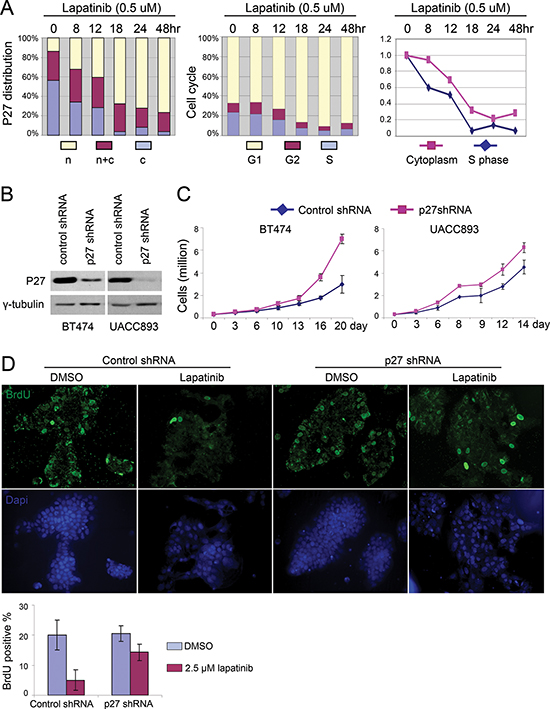 Lapatinib induced nuclear accumulation of p27 is required for its anti-proliferative effect.