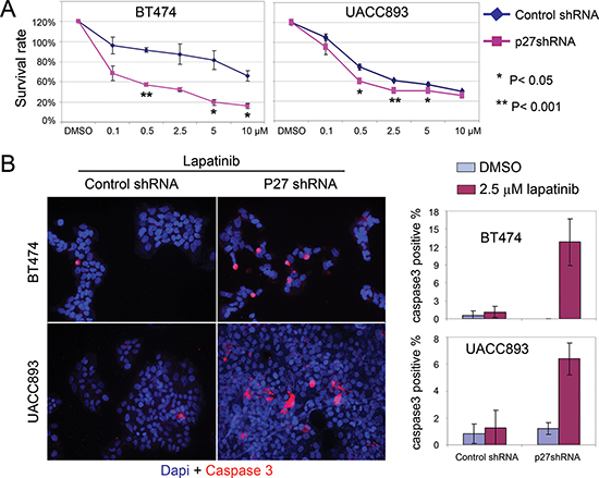 Knock down of p27 sensitizes HER2+ cells to lapatinib-induced apoptosis.