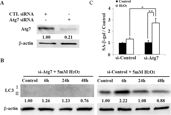 Atg7-knockdown associated autophagy impairment induces premature senescence in HEI-OC1 cells.