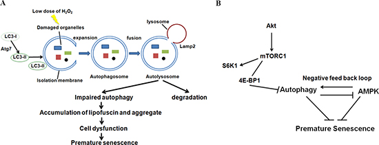 Autophagy and AMPK play important roles in the regulation of oxidative stress-induced premature senescence in auditory cells.