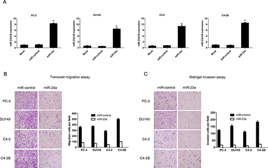 MiR-23a overexpression decreased prostate cancer cell invasion and migration in vitro.