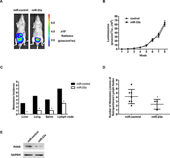 Overexpression of miR-23a suppressed prostate cancer metastasis in vivo.