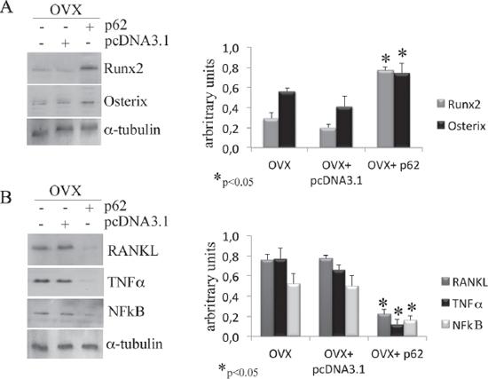p62 vaccine decreases pro-inflammatory markers.