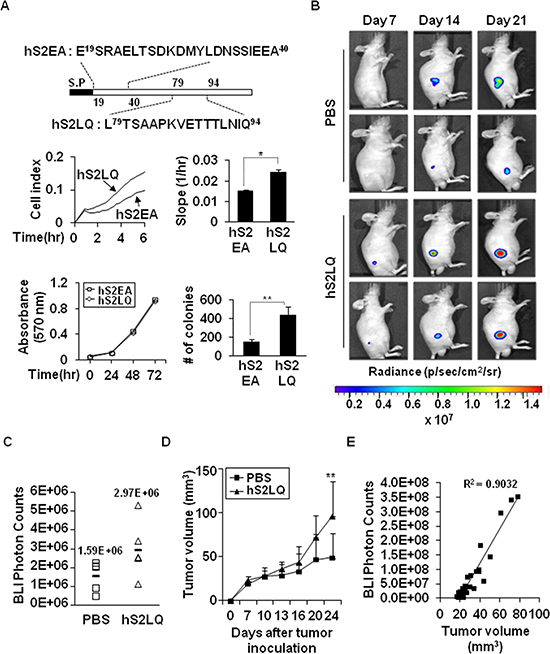 The syndecan-2 synthetic peptide significantly increases subcutaneous tumor growths in vivo.
